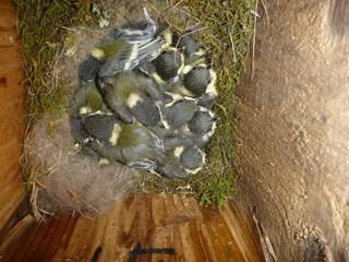 孵化して13日目のシジュウカラの雛。.jpg